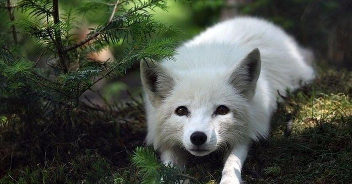 создание красивые картинки на аву лисы белые тишина сравнению шумом