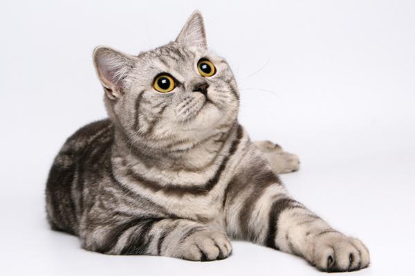 Подарочек под Новый год... Кот, Кошка нашла дом, Британцы
