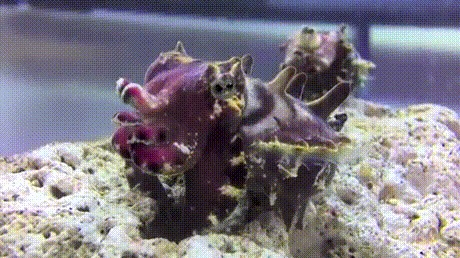 Похоже на маленького гиппопотама Гифка, Подводный мир, Каракатица