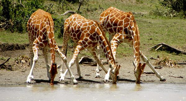 Какое артериальное давление у жирафа