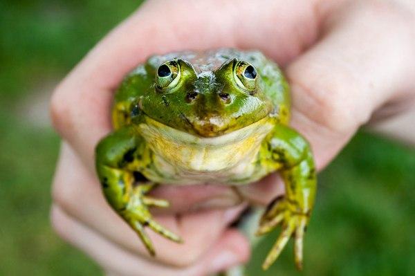 Как появились лягушки Жаба, лягушки, земноводные, амфибия, палеонтология, наука, животные, длиннопост