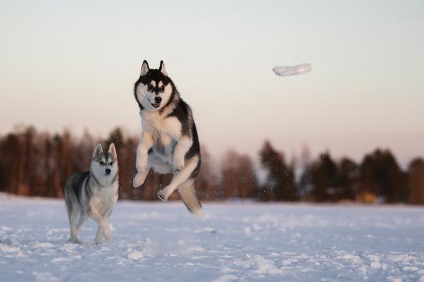 Снежки Фото, Собака, хаски, зима, Снежки, Снег, длиннопост