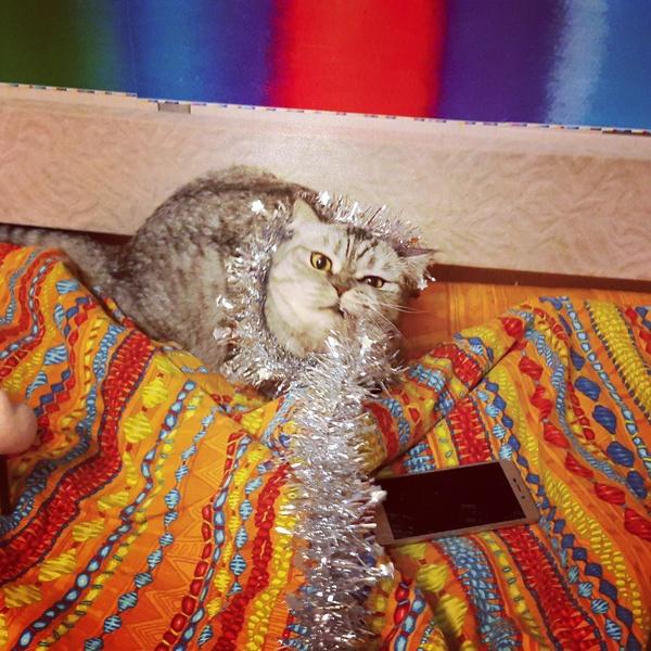Британка (кошка) с особенностью ищет своих рабов Кот, Москва, В дар, Помощь, В добрые руки, Кот в добрые руки