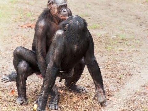 Оральный секс у шимпанзе