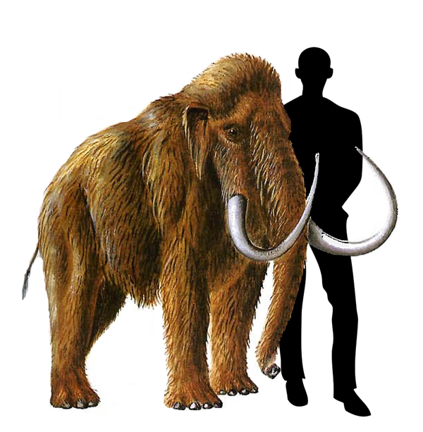 12 интересных фактов о мамонтах Мамонт, Палеонтология, Ископаемые, Животные, Факты, Длиннопост