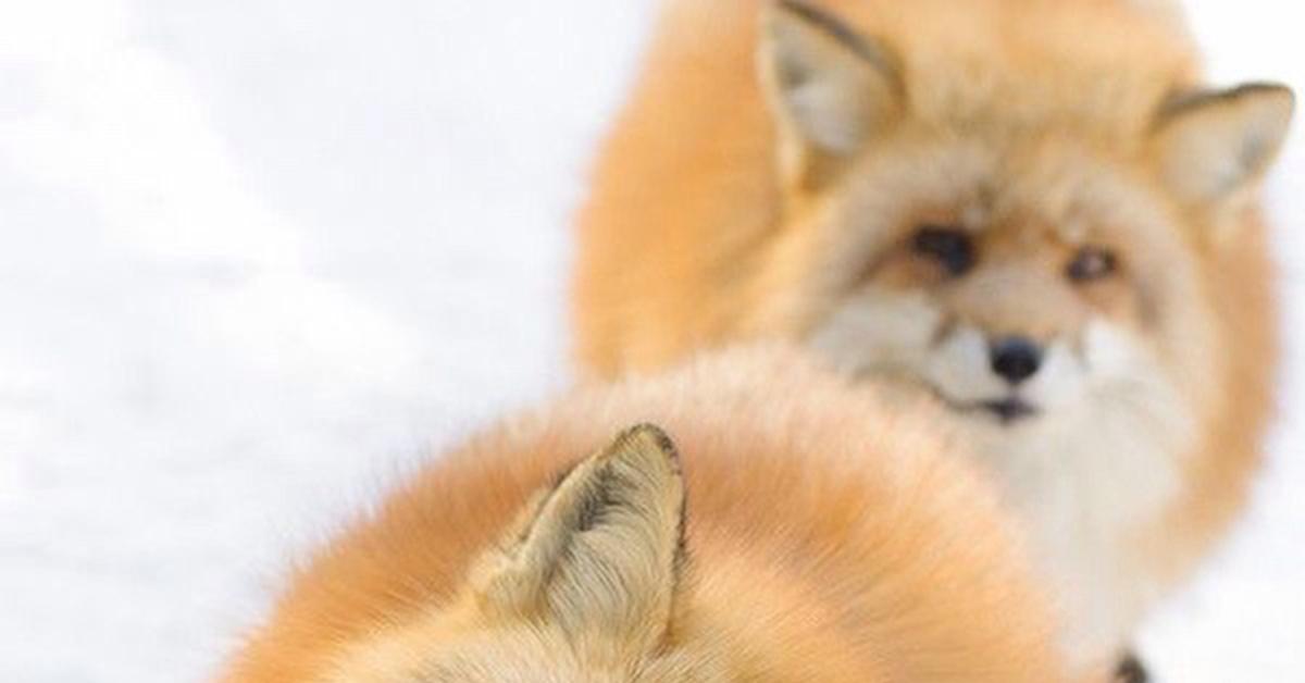 можно картинка лисы а не колобок ли ты часом мастеру