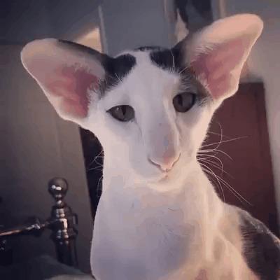 кот лопоухий