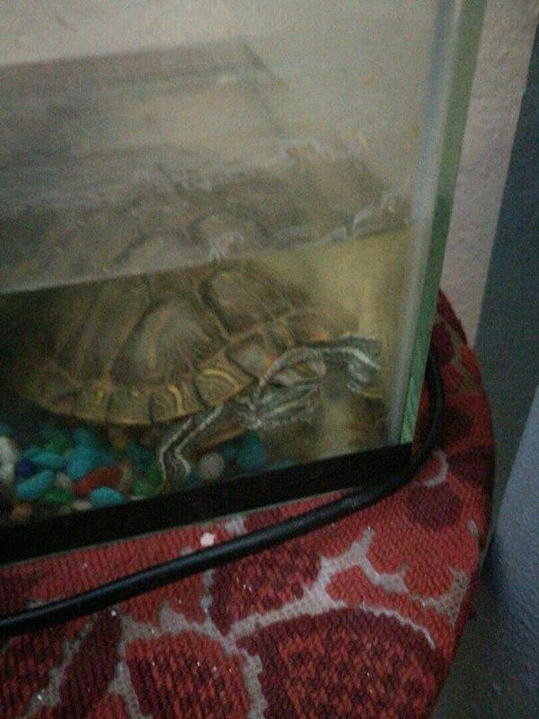Помогите пристроить брошенную черепаху. Москва Красноухая черепаха, Черепаха, В добрые руки, Помощь животным, Длиннопост, Помощь