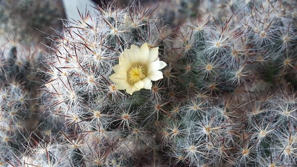 Начало цветения,распустился 1  января.
