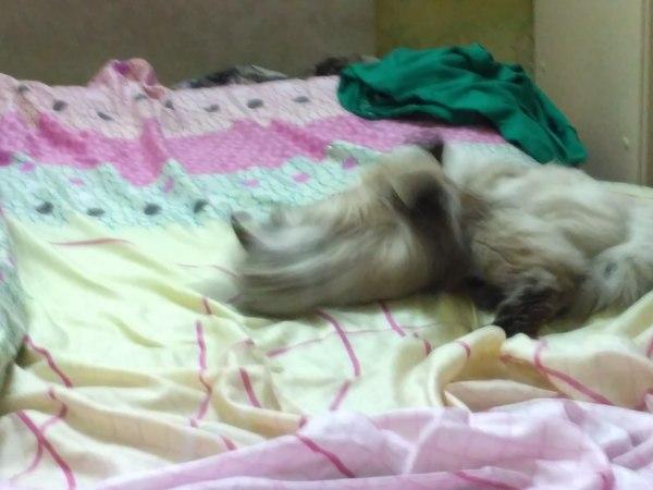 Гаусс кошка кот, Фото, Гаусс, наркомания