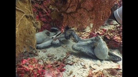 Потасовка осминогов