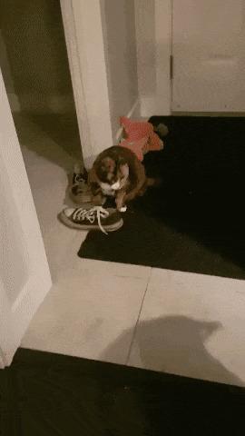 Он смотрел как я играю с кошками, а на следующий день решил попробовать сам гифка, кот, собака, Игры