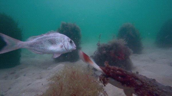 Обед каракатицы