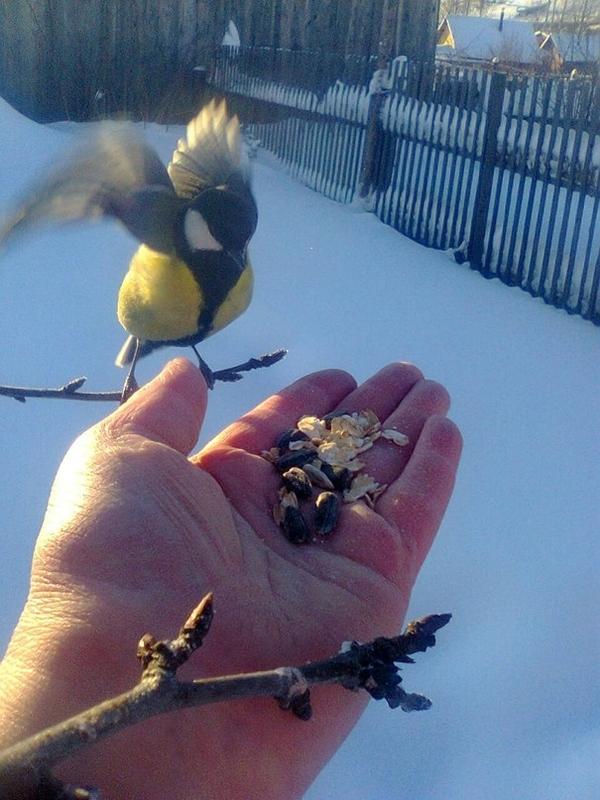 Ручные синицы птицы, Природа, приручили, зима, доброта, Снег, длиннопост