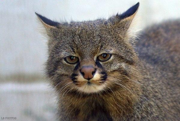 Пампасская кошка Кот, пампасский кот, длиннопост