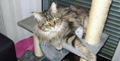 Воры вернули кота хозяевам, не сумев его прокормить инцидент, кот, мейн-кун