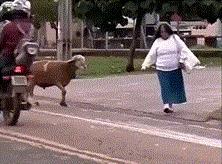 Разборки с козлом.