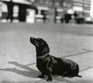Воспоминая из военного детства. Такса Мими - самая непопулярная собака Собака, такса, собаки на войне, вторая мировая война, Великобритания, история, длиннопост