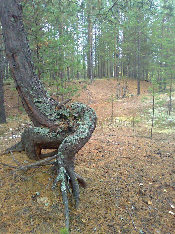Странное дерево Дерево, Странности, Фото, Север, Длиннопост