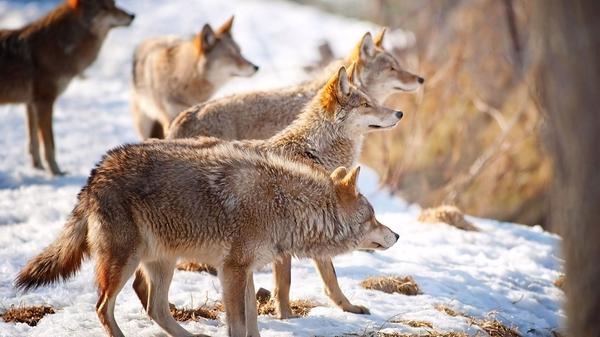 «Стайная теория»: разоблачение Волк, Собака, Стая, вожак, Дэвид Мич, длиннопост