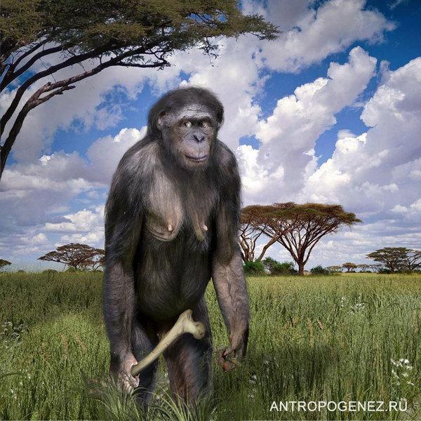 Наша родословная: Гоминиды (Часть 3) Антропогенез, Приматы, Гоминиды, Австралопитеки, Парантроп, Познавательно, Длиннопост