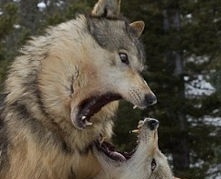 Забавное сходство увидел Волк, Бенедикт Камбербэтч, Будашон Камбердвач, Фото