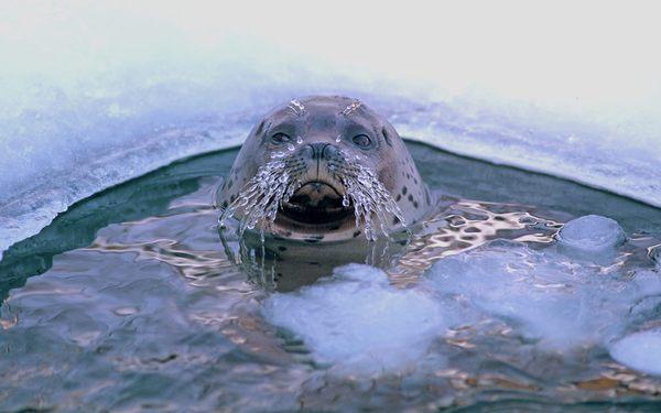 funny seal widescreen wallpaper - photo #2