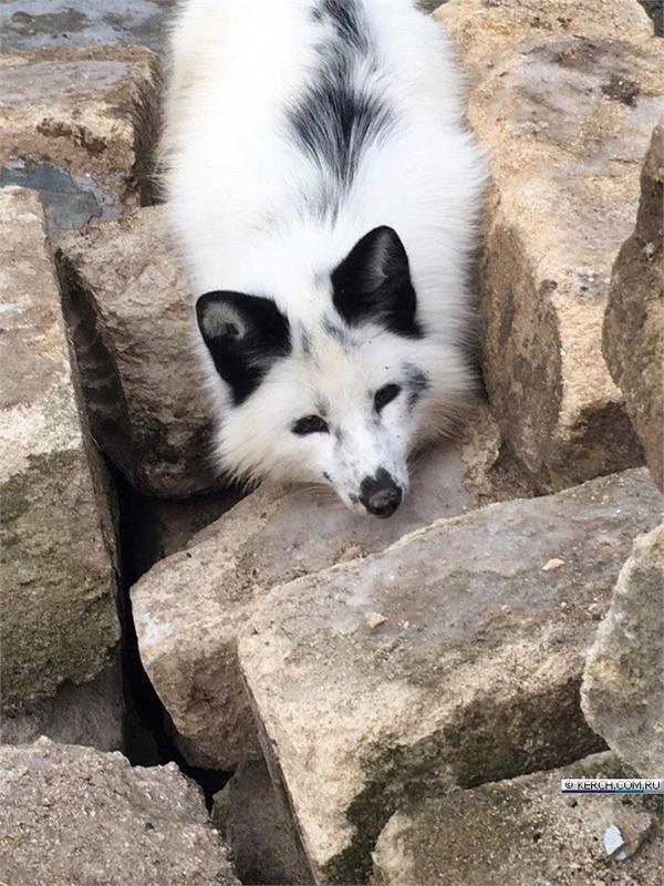 В Крыму разыскивают белого лиса лиса, белый, крым, розыск, длиннопост