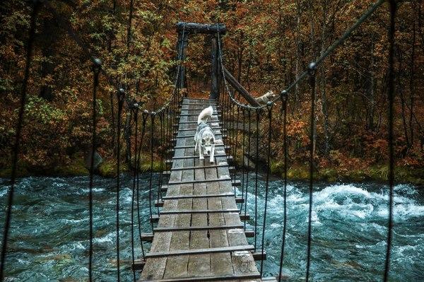Набравшись храбрости Фото, Мост, Река, Собака, Хаски, Храбрость