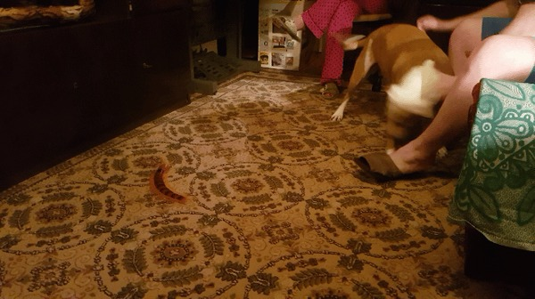 Заказал сороконожку с алиэкспресс, собака в шоке!
