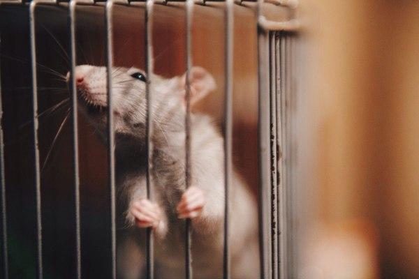 Побег Крыса, Декоративные крысы, Крысиные хроники, Длиннопост