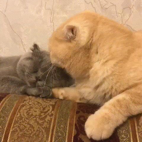 Когда устал эту заразу воспитывать Кот, Кошки и котята, Любовь, Забота, Шотландская вислоухая, Гифка