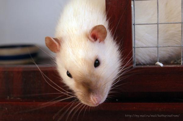 Жулик Крыса, Крысиное фото, Сиам