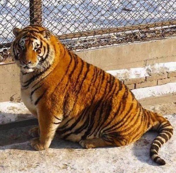 Когда жена называет тебя своим тигром.)