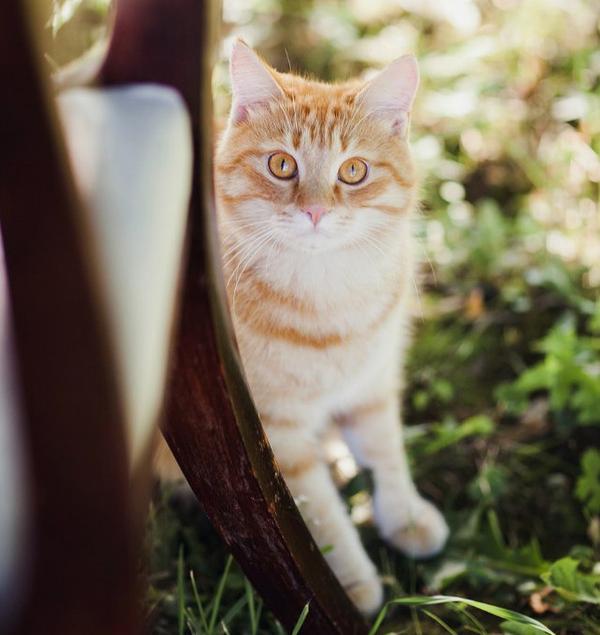 Важный котофей Персик кот, персик, важный котофей, подобрыш, длиннопост