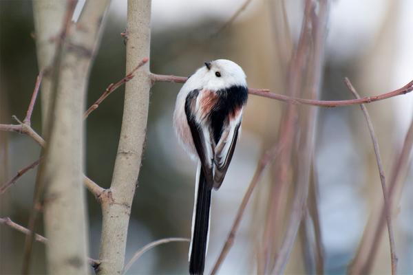 Длиннохвостая синица (ополовник) Птицы, Фотография, Синица, Длиннопост