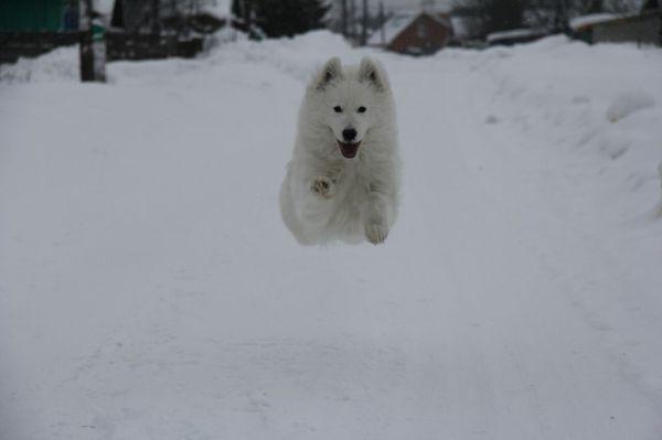 """Зацените """"летящий пуШОК"""" Собака, Снег, Белый, Пушок, Самоед"""