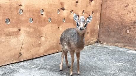 Маленькая антилопа