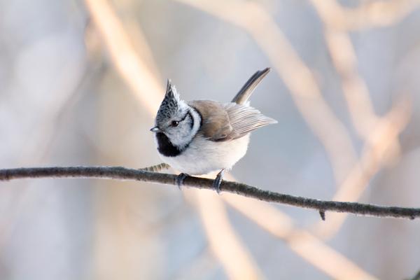 Хохлатая синица (гренадерка) Птицы, Фотография, Синица, Длиннопост