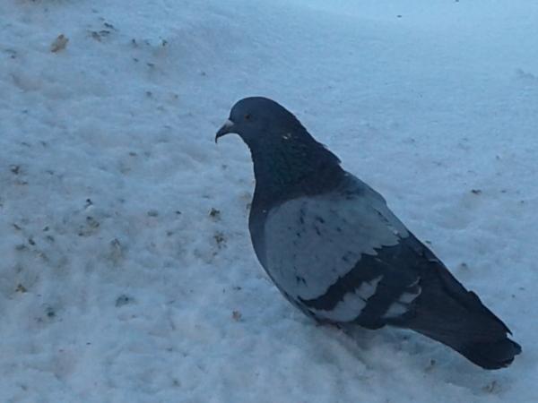 А к нам сегодня арёль прилетал Голубь, Орел, Фотография