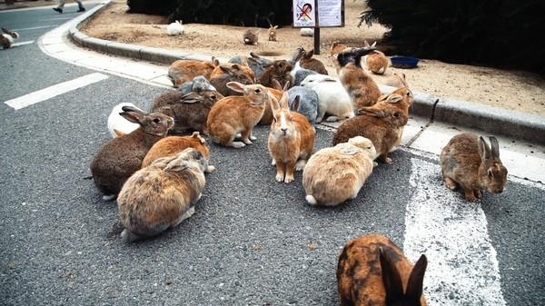 Восхитительный остров кроликов в Японии япония, новости, кролики, Остров