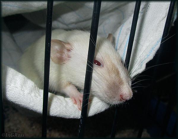 Мося Питерская, или крыса-питбуль. ^_^