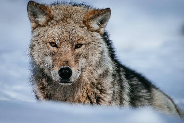 Волк из Чукотки Чукотка, Россия, Природа, природа России, Волк, Животные, длиннопост