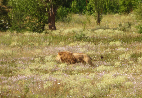 Тайган - парк львов Тайган, Лев, Крым, Животные, Сафари-Парк, Белогорск, Длиннопост