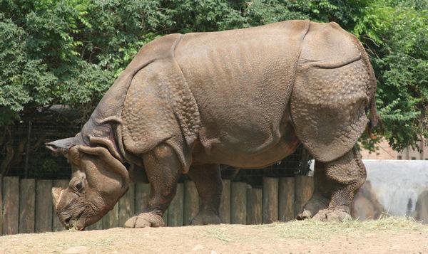 Факты о носорогах Носорог, Факты, Интересное, Длиннопост