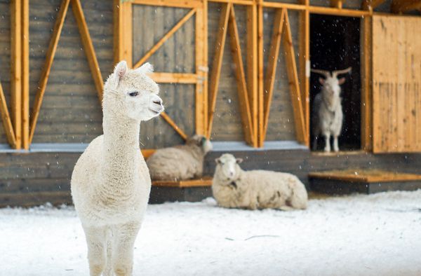 Симпатичная альпака на ВДНХ. Городская Ферма, Альпака, вднх, фотография, Животные