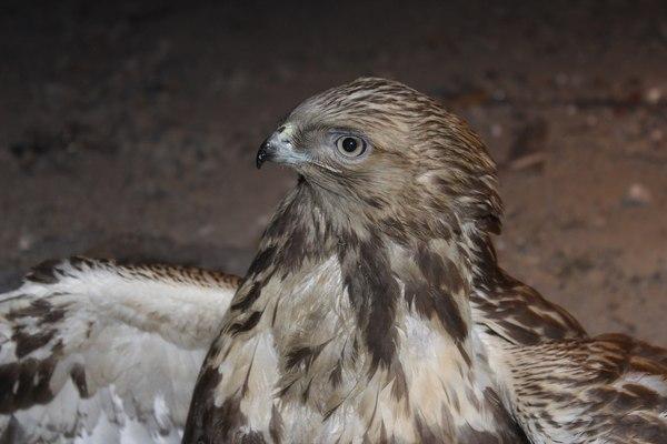 Зимняк птицы, хищные птицы, фотография, длиннопост