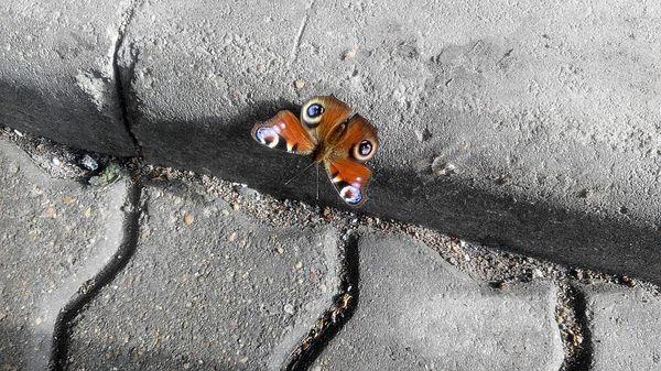 В Ригу пришла весна Рига, бабочка, прибалтика, балтия, Павлиний глаз, Inachis io, весна