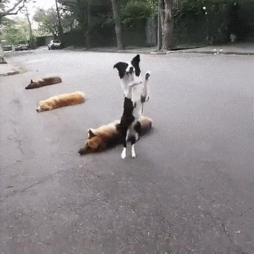 Зайка Колли, бордер колли, Собака, прыгает, трюк, гифка