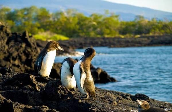 Интересное о пингвинах Интересное, Факты, Птицы, Пингвины, Копипаста, Видео, Длиннопост